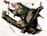 Virgina Opossum by John James Audubon