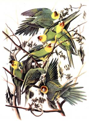 Carolina Parakeet by John James Audubon