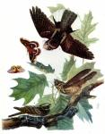 Whip-Poor-Will by John James Audubon